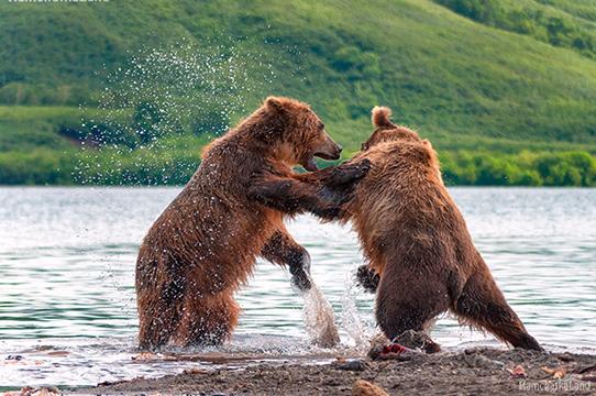 более 300 медведей сходится на пир